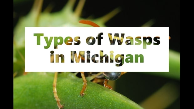 types-of-wasps-in-michigan