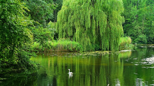 willow-trees-features-uses-and-interesting-discoveries
