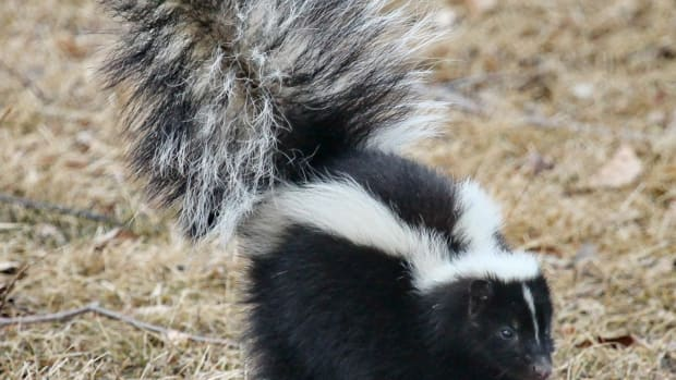 when-skunks-attack