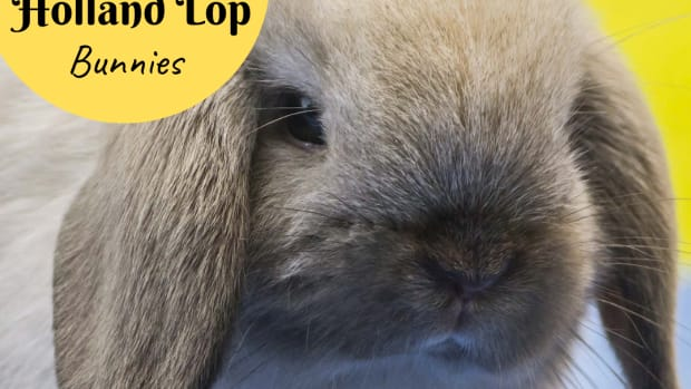 bunny-breed-guide-mini-lop-rabbits