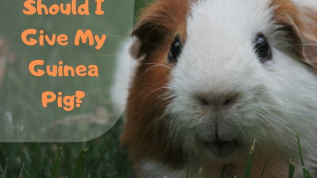 what-toys-can-i-give-my-guinea-pig