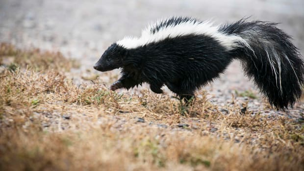 what-to-feed-your-pet-skunk