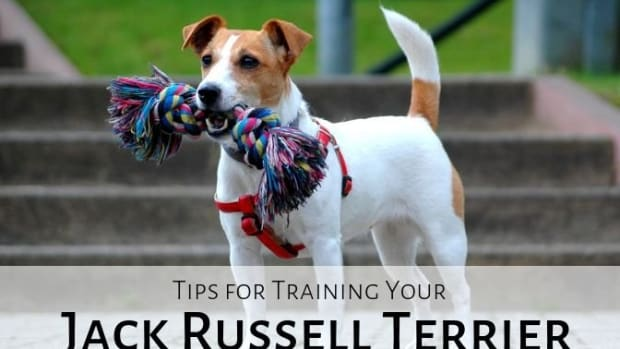 how-not-to-train-a-jack-russell-terrier
