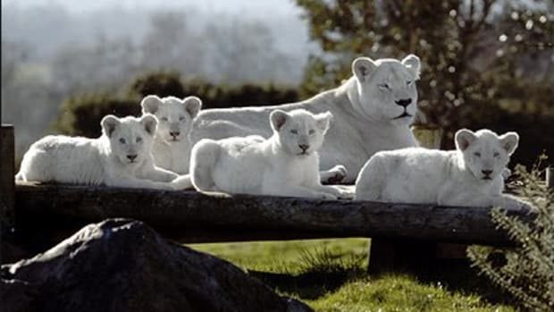 White lioness and her cubs at the West Midland Safari Park in the UK.