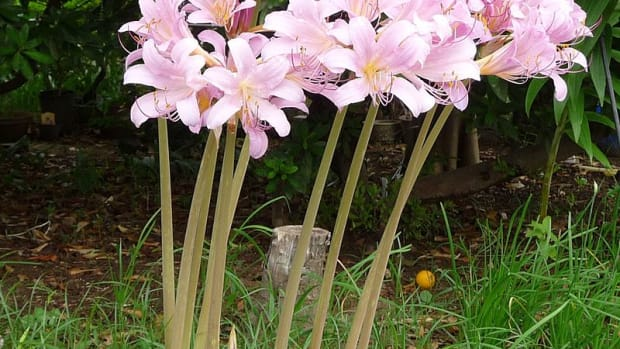 how-to-grow-resurrection-lily-surprise-lily