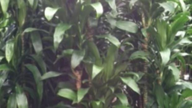 care-for-dracaena-lisa-corn-plant-draceana-deremensis-lisa-green-stalk-corn-plant