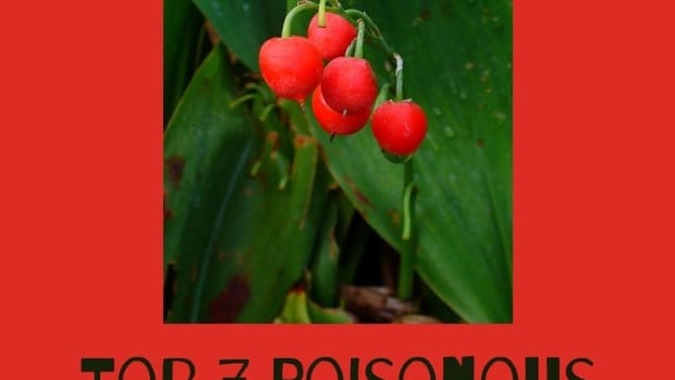 10-poisonous-berries-that-can-kill-you