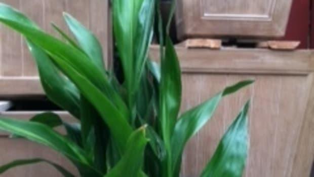 caring-for-aspidistra-cast-iron-plant