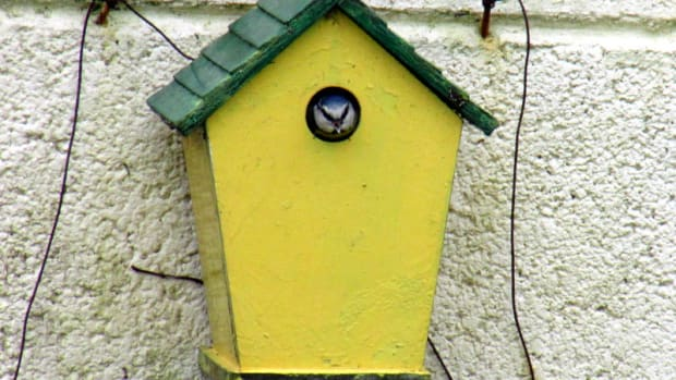 blue-tits-nesting-in-my-garden-in-a-bird-box-birds-nest-chicks-baby-tit-eggs-hatching-fledglings