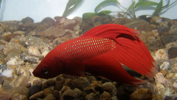 what-do-betta-fish-eat-feeding-guide