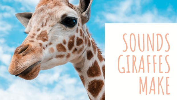what-sounds-does-a-giraffe-make