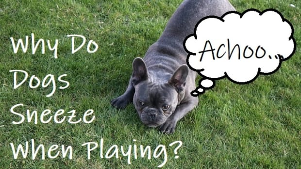 why-does-my-dog-sneeze-when-playing