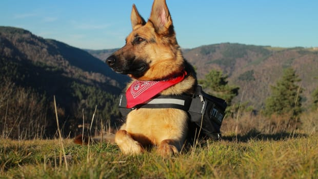 german-shepherd-service-dogs