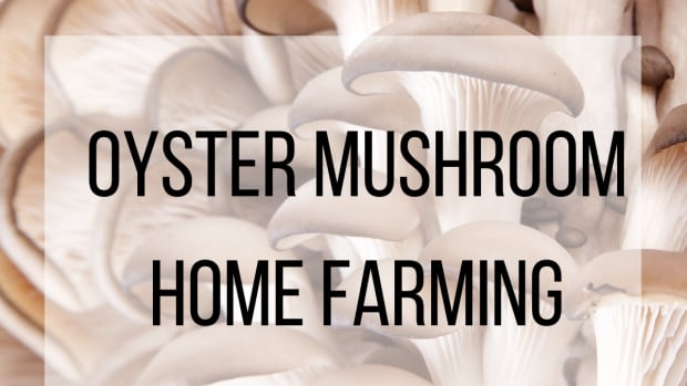 oyster-mushroom-home-farm