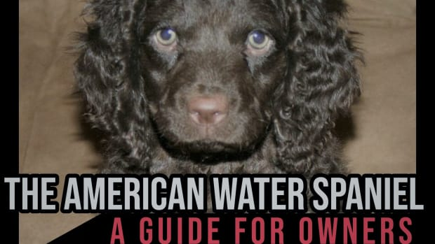 the-american-water-spaniel-a-guide-for-owners