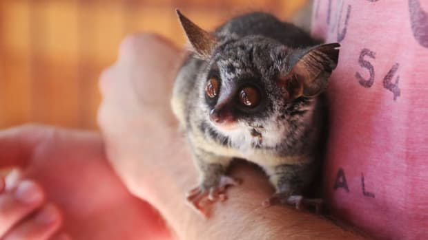 keeping-caring-bush-babies-as-pets