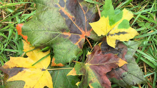 twilight-by-the-maple-tree-autumn-facts-and-a-poem