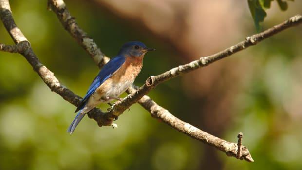 bluebirds-in-the-backyard