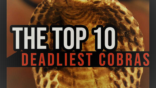 the-top-10-deadliest-cobras