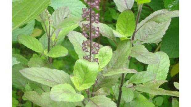 tulsi-as-an-immune-booster
