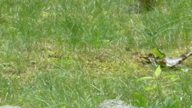 how-to-get-rid-of-chipmunks-in-your-yard