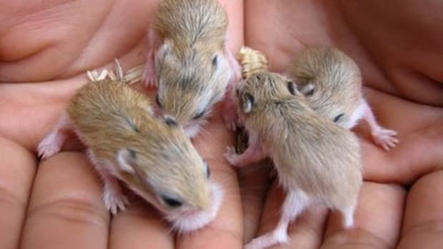 how-to-find-good-homes-for-a-litter-of-baby-hamsters