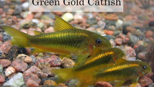 top10-freshwater-tropical-fishes