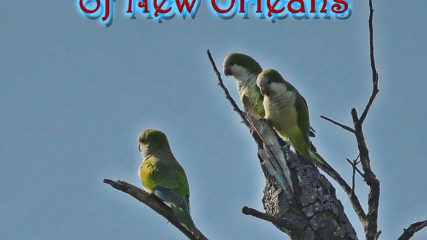 wild-quaker-parrots-of-new-orleans