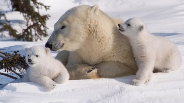 the-great-white-shark-of-the-north-the-polar-bear