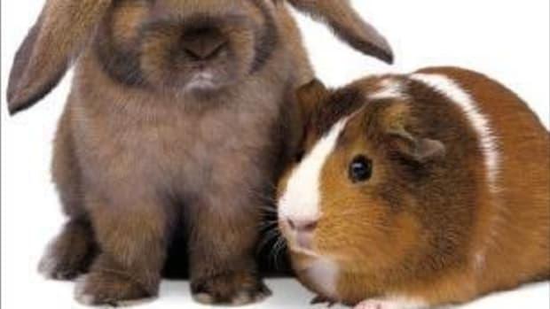 should-i-get-a-guinea-pig-or-a-bunny-rabbit