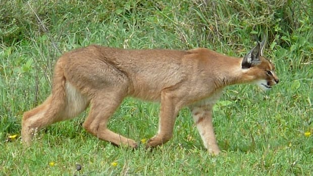 caracal-adaptations-and-facts