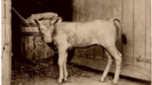 hairless-cattle
