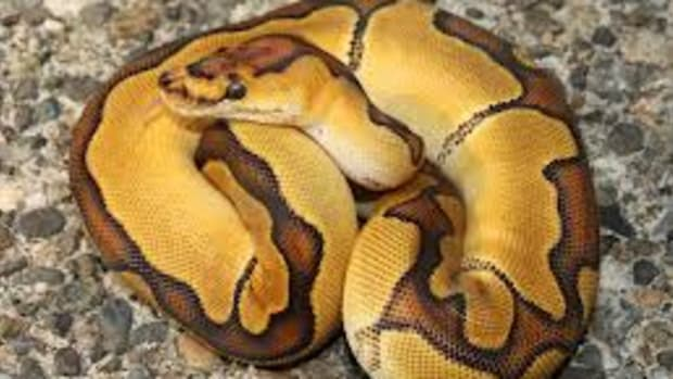 ball-pythons-make-good-pets