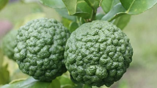 kaffir-lime-an-unknown-lemon-with-amazing-benefits