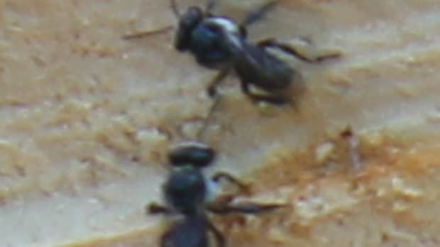 stingless-native-bees