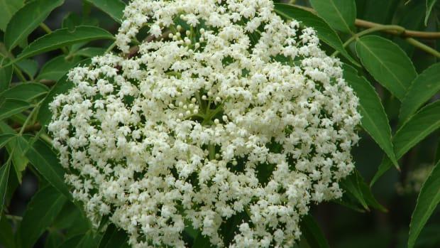 -elderflower-cordial-elderflower-wine-recipes