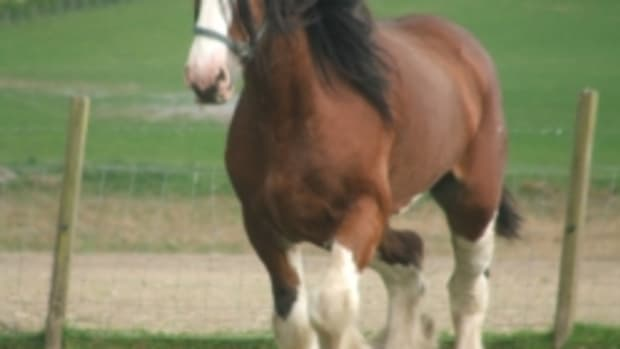 clydesdale-horse-2