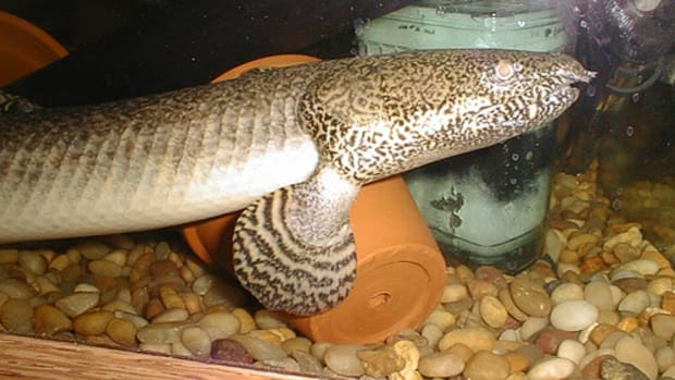 the-bichir-species-real-life-dragons