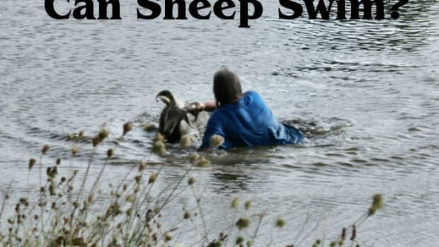 swimming-sheep