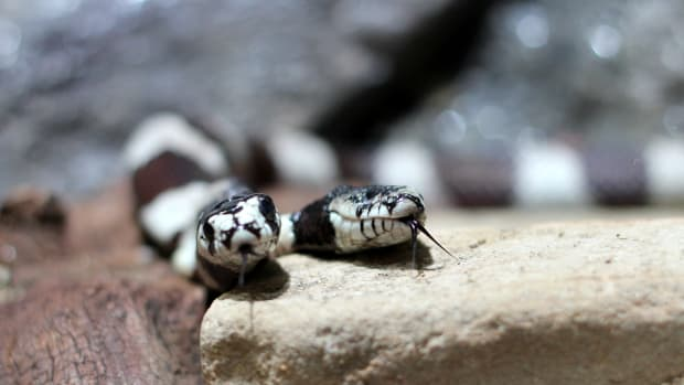 two-headed-snakes-facts-and-mythology