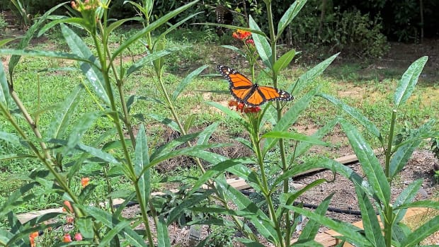 my-monarch-waystation-garden