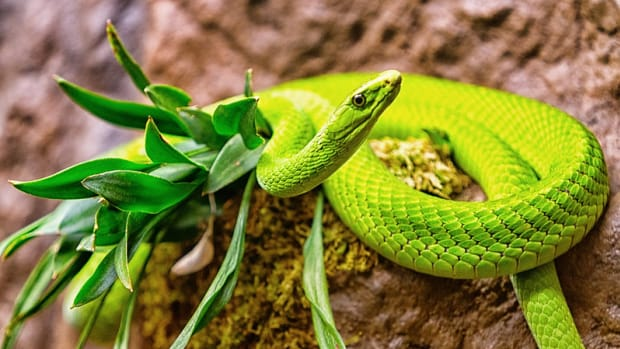 snakebites-worldwide-and-antivenin-plants-for-snakebites-treatment