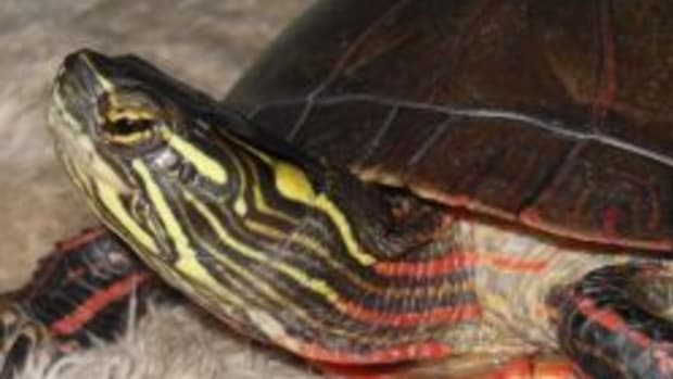 painted-turtles
