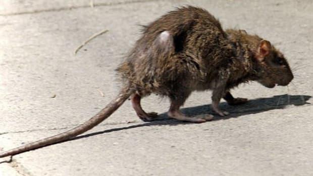 killing-rats