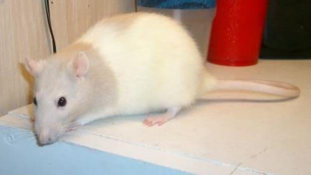 keeping_pet_rats