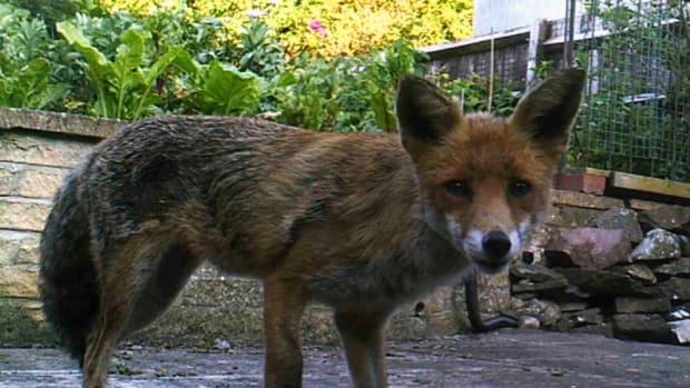 contented-britsh-fox
