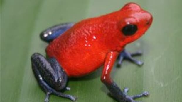weird-animals-blue-jeans-poison-dart-frog