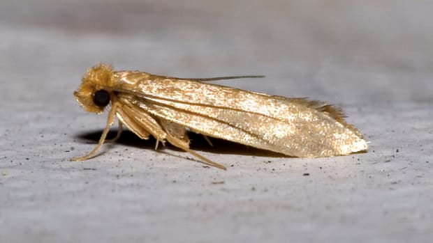 how-to-identify-clothes-moths