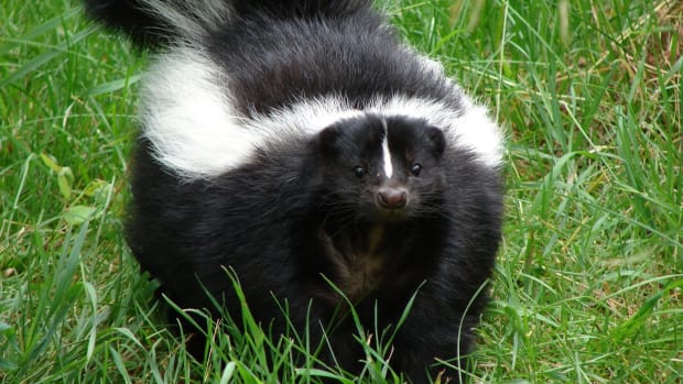 how-to-teach-kids-to-trap-skunks-on-your-property