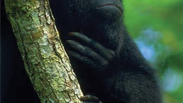 the-black-howler-monkey